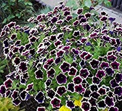 ANVIN Seeds Package: Germination Seeds PLATFIRM-New Cascadia Rim Magenta Petunia 200+ Seeds