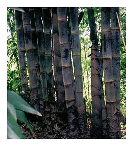 Dendrocalamus asper - bambou géant noir - 10 graines
