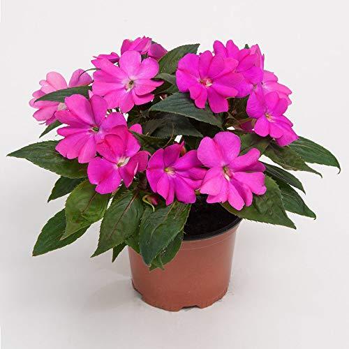 Pflanzen Kölle 6er-Set Edellieschen, Impatiens Neuguinea-Hybride, lila, Topf 12 cm