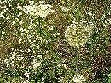 Potseed 500 graines Nt de Origan ou Marjolaine Sauvage Origanum vulgare aromatiques