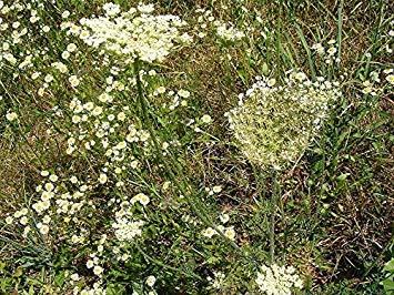 Potseed 200 Samen Andorn Weiß/Andorn Gemeinsame/Pflanze Gras Aromatic