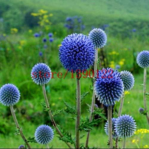 Potseed 100pcs Blue Ball Distelsamen, Japan Distel, Distel-Blume Echinops Ritro Chrysanthemum für Home Garten Bepflanzung