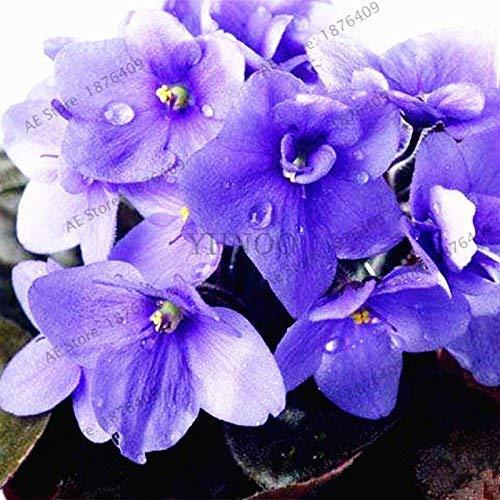 50pcs/sac couleur mélangée Violet Garden Seeds Plantes Violet Fleurs vivaces herbes Matthiola Incana semences pour la maison et le jardin 3