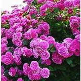 TOMASASeedhouse- 50 piezas de semillas de rosas que suben, semillas de flores semillas de rosas perennes resistentes para balcón, pared, jardín