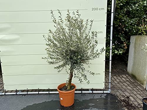 Olivenbaum 160-200cm, 20 jahre alt, winterhart, 16-20cm stammumfang