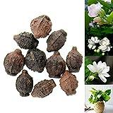 Rosepoem 10pcs Gardenia Jazmín Jasminiodes blanca...