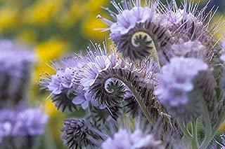 lacy phacelia, PURPLE TANSY flower, 170 seeds! GroCo