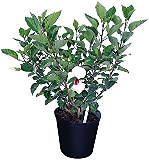 PlantVine Hibiscus rosa-sinensis 'White Wings', Tropical Hibiscus - Large - 8-10 Inch Pot (3 Gallon), Live Plant