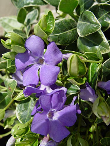 Jeepers Creepers - Vinca minor 'Ralph Shugert' (Periwinkle) Perennial, lavender flowers, 1 - Size Container