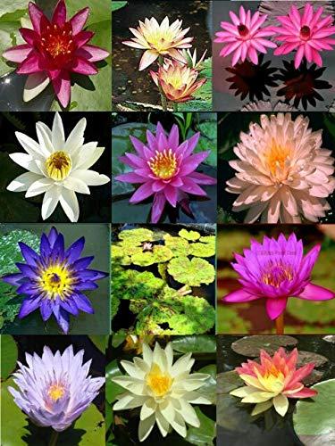 Bonsai Lotus Seeds for Planting | 10 Seeds | Beautiful Flowering Aquatic Bonsai...