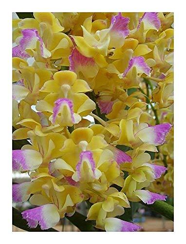 Aerides houlettiana - orchidée rose - 100 graines