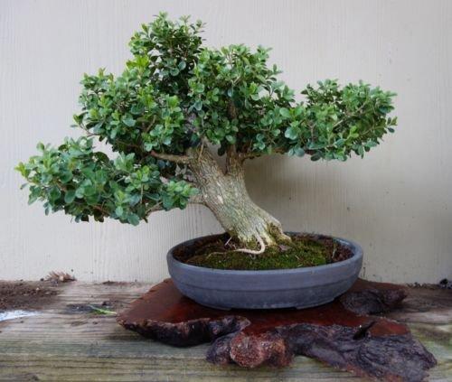 25 Semillas de Corea - boj Buxus Microphylla Koreana - Bonsai