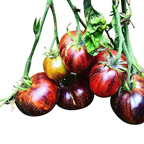 Tomate * DARK GALAXY * 10 graines Fruité & Sucré