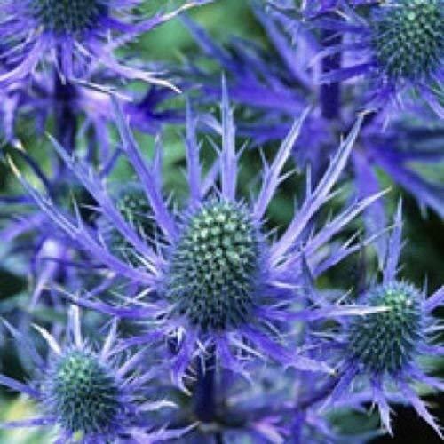 Blue Sea Holly'Eryngium Planum' 50 Samen