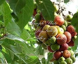 Toyensnow - Ficus racemosa Fig Tree Tree - Tropical Plant - Bonsai or Standard (20 Seeds)