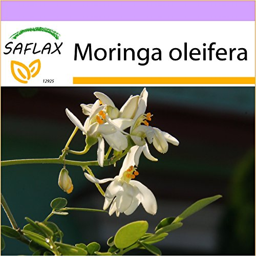 SAFLAX - Moringa - 10 Samen - Moringa oleifera