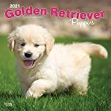 Golden Retriever Puppies - Golden Retriever-Welpen 2021 - 16-Monatskalender mit freier DogDays-App: Original BrownTrout-Kalender [Mehrsprachig] [Kalender] (Wall-Kalender)