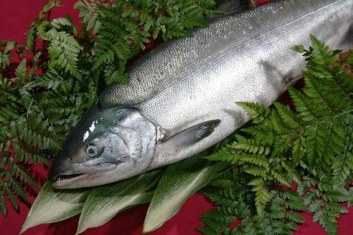 北海道/秋鮭(さけ)生(朝どれ)4.0kg-4.4kg脂の乗った雄鮭(銀毛)【急速冷凍】