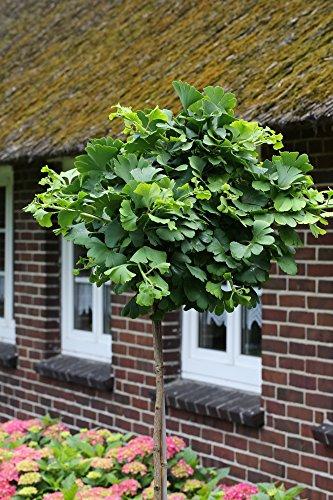 Ginkgo-Stämmchen Marieken®, 1 Pflanze auf Stamm veredelt