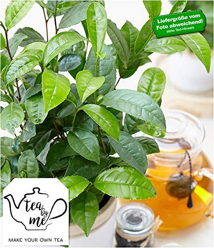 BALDUR-Garten Winterharte Teepflanze Tea by me®, 1 Pflanze Camellia sinensis Zimmerpflanze