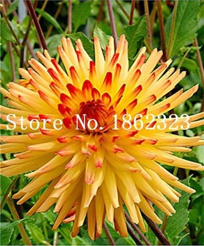 Generic Fresh 100 PCS Frische Dahlienblumensamen zum Pflanzen Gelbrot