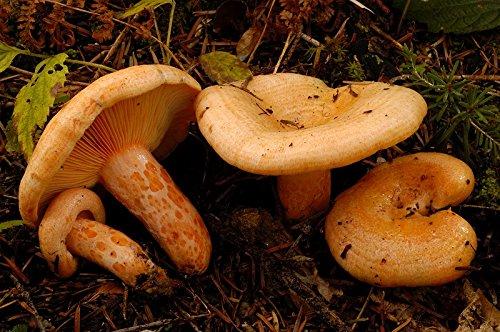 Mycelium - Bosque de setas Lactarius Deliciosus para cultivo propio