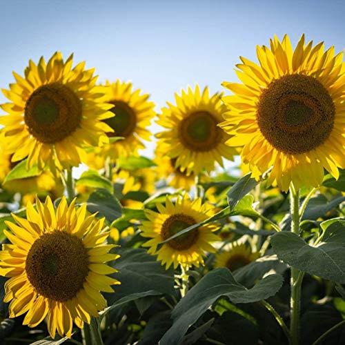 20 Stück Sonnenblumenkerne riesige Sonnenblume seltene Blumensamen für Haus Garten Pflanzen Sonnenblumenkerne Vögel