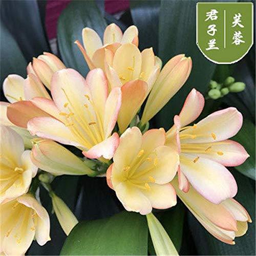 100 stuks Hot Koop Clivia Miniata Bonsai Gorgeous Bonsai Rare Bush lelie Flower Plant Huis DIY tuin met sier Waarde: 2