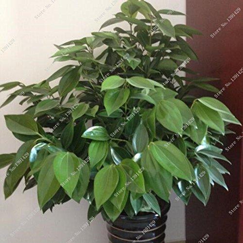 5 pièces japonaises graines de cannelle éclipsent arbres graines intérieure plante récipient jardin bonsaï pot
