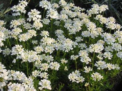 Iberis sempervirens - Schleifenblume, 6 Pflanzen im 5/6 cm Topf