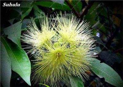 100 Pcs/Sac Rare Eucalyptus arc-en-floraison Graines, Graines Arbre tropical, Eucalyptus plantes pour jardin d'ornement Bonsai 16