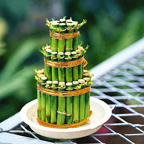 DaDago 30 Teile/Paket Glück Bambus Bonsai Samen Kleine Topfpflanzen Reinigen Dracaena Plantas Pflanzen Einfach Für Hausgarten