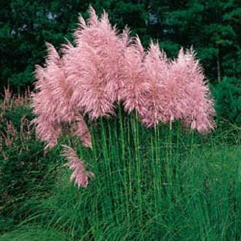 Outsidepride Pink Pampas Ornamental Grass Plant Seeds - 1000 Seeds
