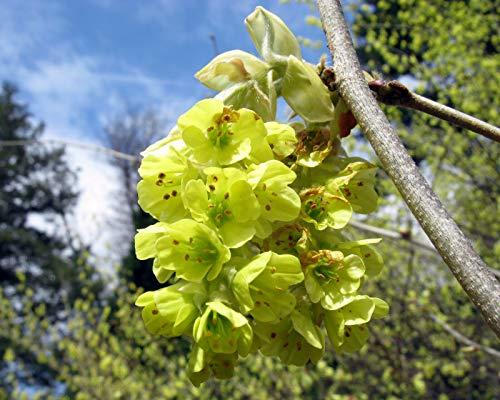 Chinesische Scheinhasel Corylopsis sinensis 'Spring Purple' Pflanze 25-30cm