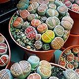 Ultrey Samenshop - 100 Stück echte Mini saftig Sukkulenten Lithops Samen Mix Succulent Arsch Blume Bonsai winterhart mehrjährig für Garten Balkon/Terrasse