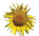 Burpee Pike's Peak Sunflower Seeds 50 seeds