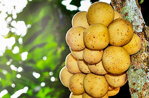 Bio-Saatgut nur Nicht Pflanzen: 50 Samen: Uncle CHAN * Seed longkong Süße Rare Lansibäume Langsat Frucht fres C800 by FÄHRE