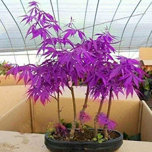 High-Q Purple Japanese Ghost Maple Bonsai Acer Seeds Rare Unusual Stunning Garden Plant (10 seeds)
