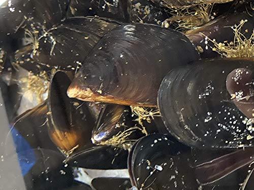 宮城県産 ムール貝 小サイズ(1個あたり約30g) 約1kg