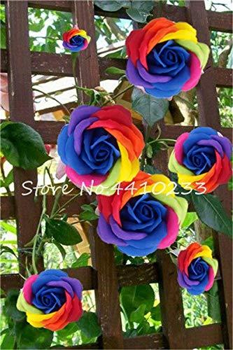 Generic Fresh 100 Stück Kletterrosenblüte SAMEN zum Pflanzen gemischt 1