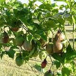 granadilla tree plant