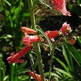 Blumixx Stauden Penstemon barbatus 'Coccineus' - Scharlachroter Bartfaden, im 0,5 Liter Topf, leuchtend rot blühend