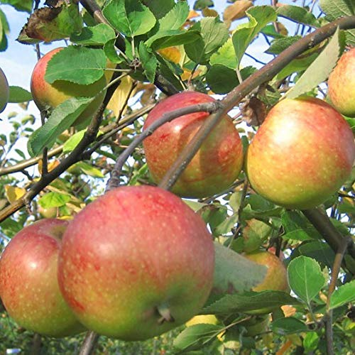 Müllers Grüner Garten Shop Apfelbaum Topaz robuster Apfelbaum Buschbaum 120-150 cm 10 Liter Topf Unterlage M25