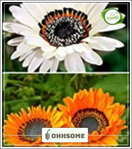 ShopMeeko Seed Venidium fastuosum Monarch Jardin Semences pour la Maison de semences (20 par Paquet)