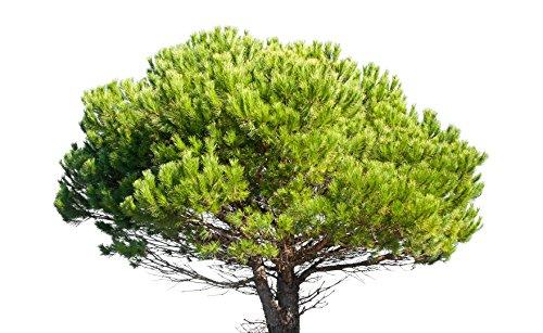 Pinie Pinus pinea 12 Samen