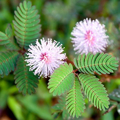 Mimosa, Graines sensibles - Sensitive