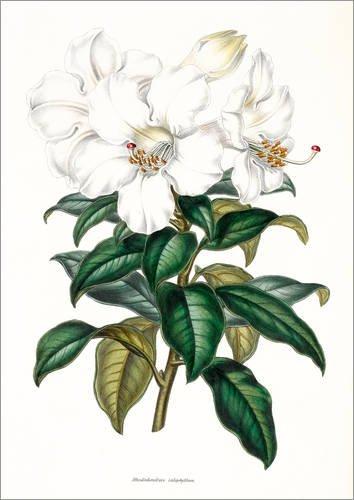 Posterlounge Leinwandbild 50 x 70 cm: Rhododendron calophyllum von Sowerby Collection/Bridgeman Images - fertiges Wandbild, Bild auf Keilrahmen, Fertigbild auf echter Leinwand, Leinwanddruck