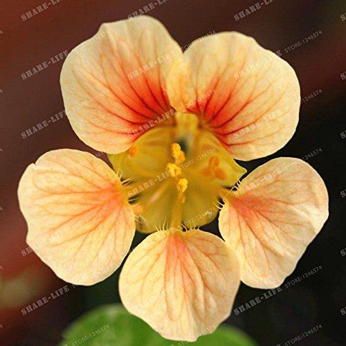 10 pièces Belle Creeper Graine capucine Tropaeolum Majus facile plantation Hanging graines de fleurs ornementales Bonsai New Plant Garden 1