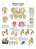 3B Scientific VR4172UU Bacino e Anca, Anatomia e Patologia
