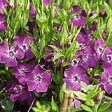 10 x Vinca minor Atropurpurea (Lila) Kleines Immergrün (Bodendecker)